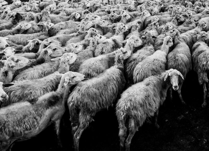 NaKolei.pl - Wyszły z zagrody, zginęły na torach. W Niemczech pociąg wjechał w stado owiec