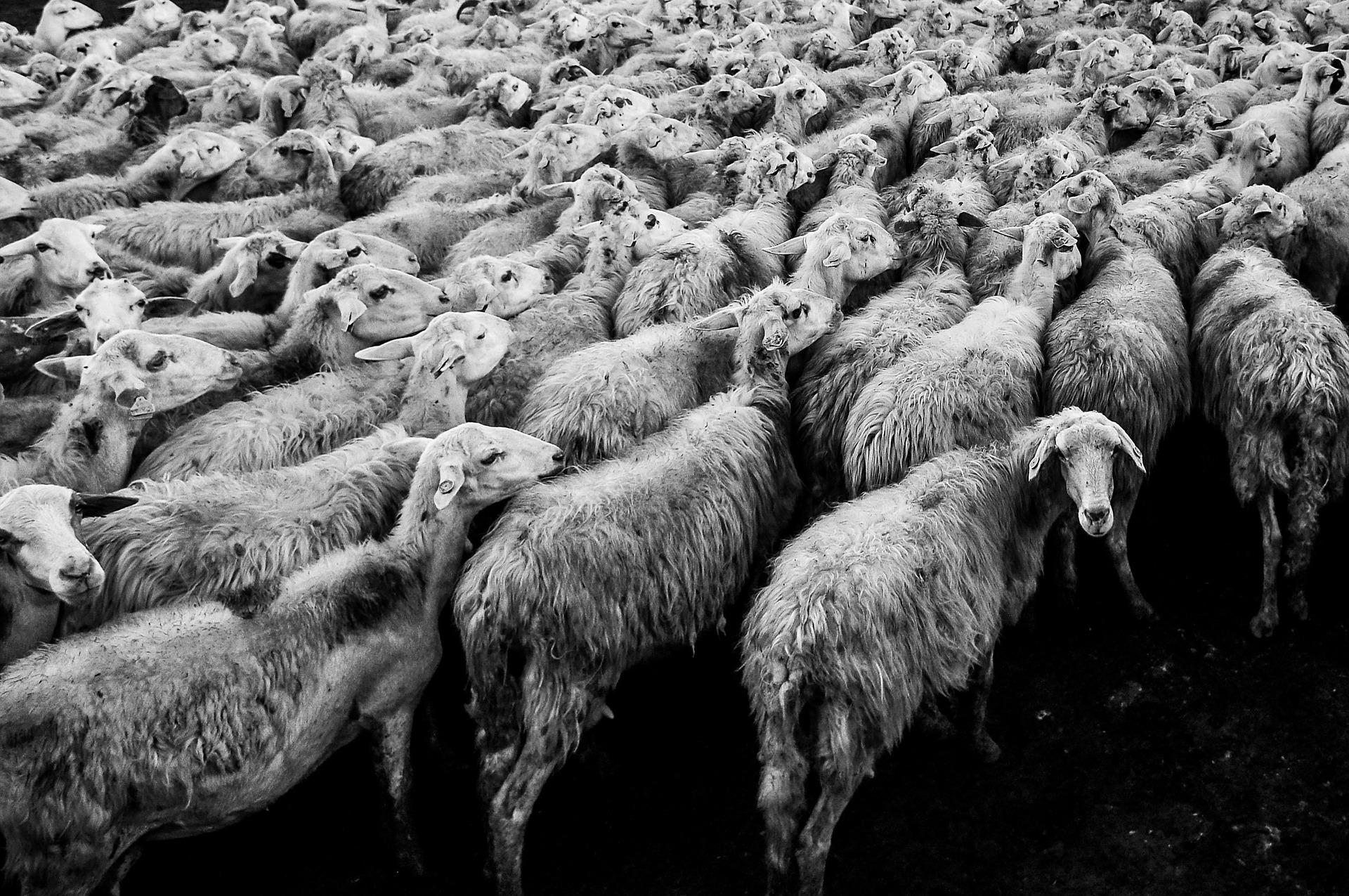 Wyszły z zagrody, zginęły na torach. W Niemczech pociąg wjechał w stado owiec