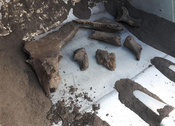 Zakończono badania prehistorycznego ssaka znalezionego podczas budowy metra